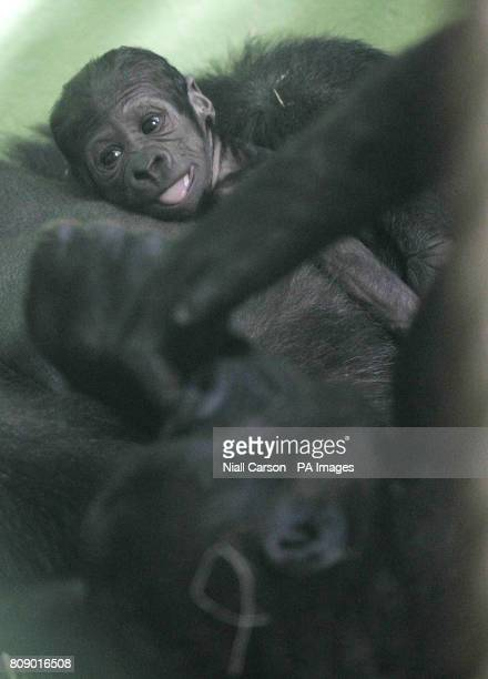 Dublin zoo's newest addition looks at its brother Evendi while resting with mum Lena The baby gorilla was born on Sunday weighing only 181kgs and so...