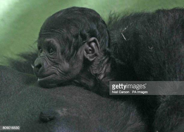 Dublin zoo's newest addition with its mum Lena The baby gorilla was born on Sunday weighing only 181kgs and so far keepers are unable to tell if it...