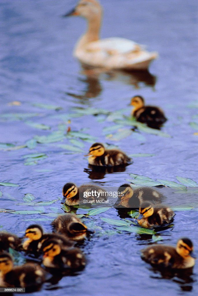Duck and ducklings on pond : Stock Photo