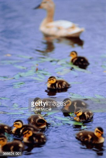 Duck and ducklings on pond : Foto stock