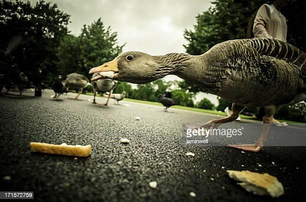 duck vorsichtigen Brotkrümel essen