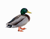 Duck cautiously walking on white background