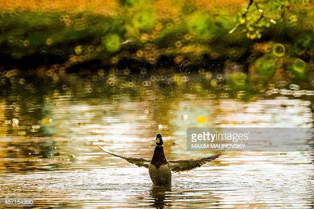 A duck enjoys the warm weather at the Central park in Minsk on October 13 2014 The temperature in Belarus' capital reached 18 degrees Celsius AFP...