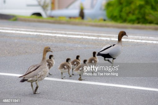 Duck family crossing the road