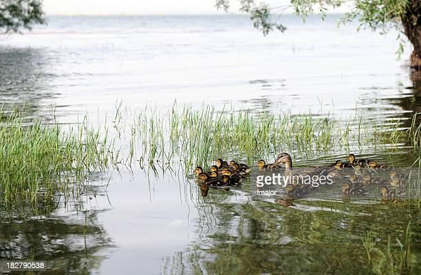 Canard en famille