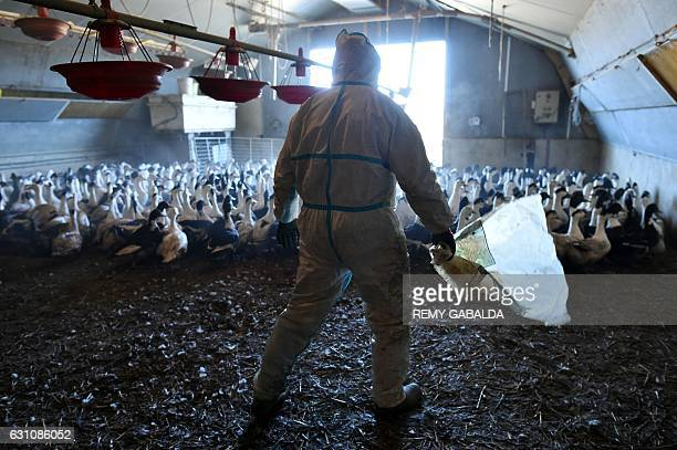 TOPSHOT Duck farmer Sebastien Pujos drives birds out of an enclosure as he prepares to slaughter a portion of his 32000 ducks in BellocSaintClamens...