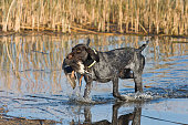 A German Wirehaired Dog with a duck