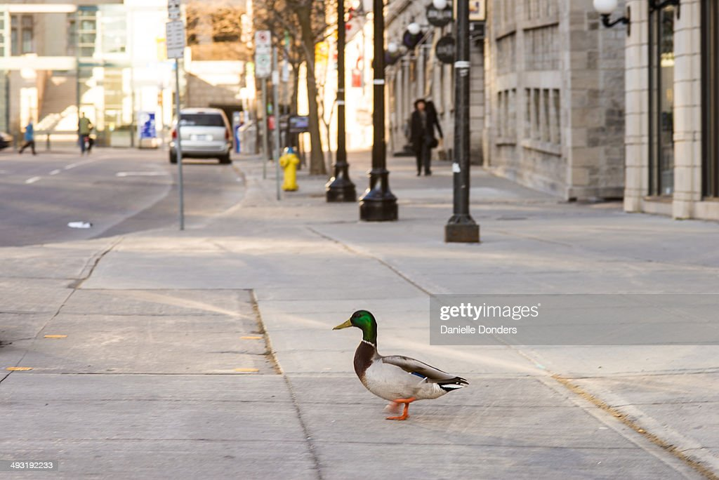 Duck in downtown Ottawa : Stock Photo