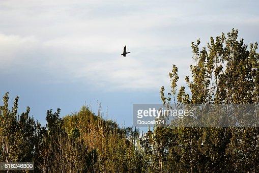 Anatra in volo  : Foto stock