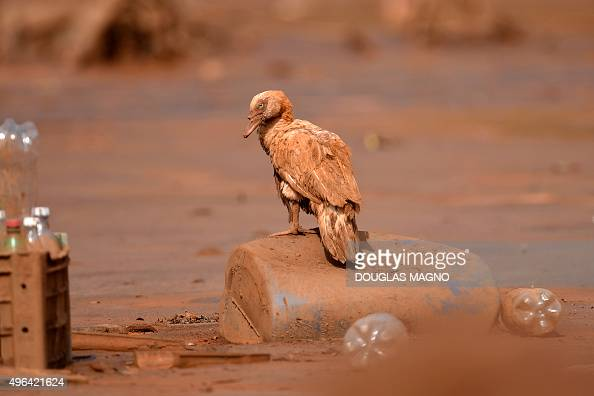A duck is seen after an avalanche of mud and mining sludge in Paracatu de Baixo Minas Gerais Brazil on November 9 2015 Brazilian authorities have...