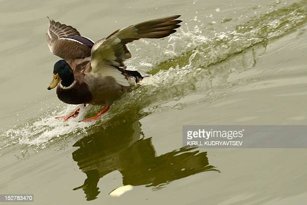A duck lands in a pond in Moscow on September 26 2012 AFP PHOTO / KIRILL KUDRYAVTSEV