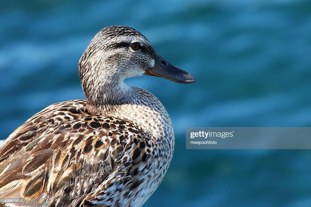 Pato en el lago fondo en Suiza : Foto de stock