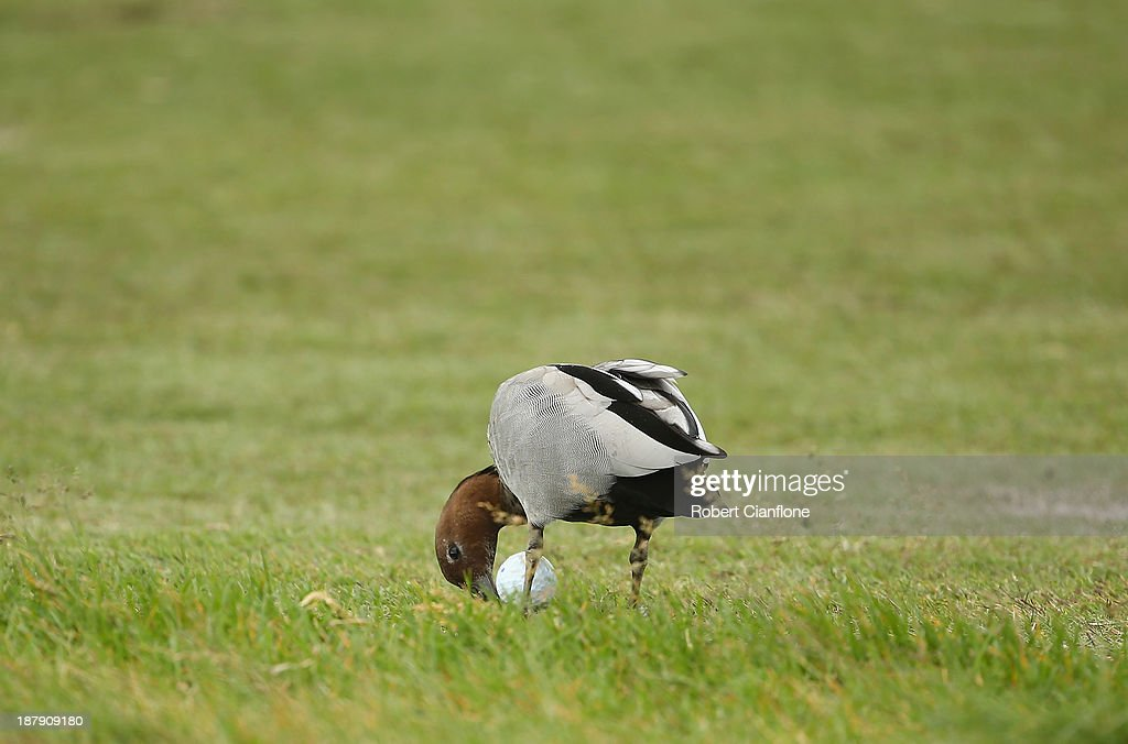 A duck pecks at the ball played by Alistair Presnell of Australia during round one of the 2013 Australian Masters at Royal Melbourne Golf Course on November 14, 2013 in Melbourne, Australia.