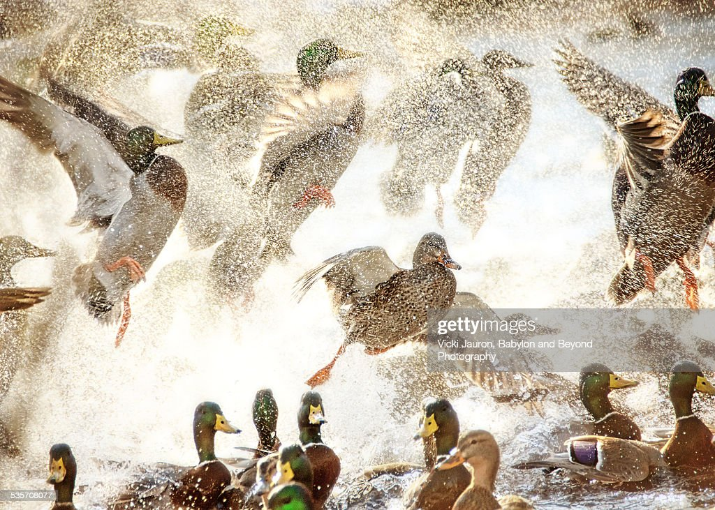 Duck Ruckus on the creek at Massapequa Preserve