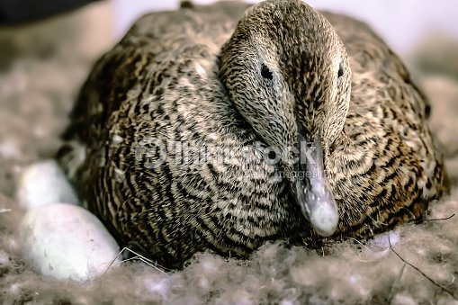 duck sitting on eggs in the nest stock foto thinkstock. Black Bedroom Furniture Sets. Home Design Ideas