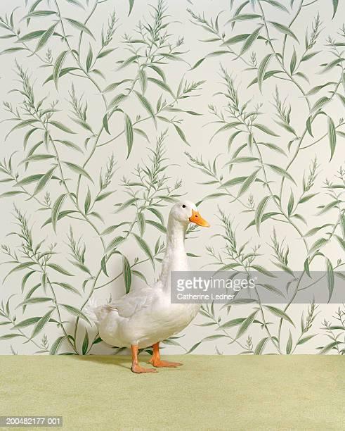 Duck (Anas platyrhynchos) standing on carpet