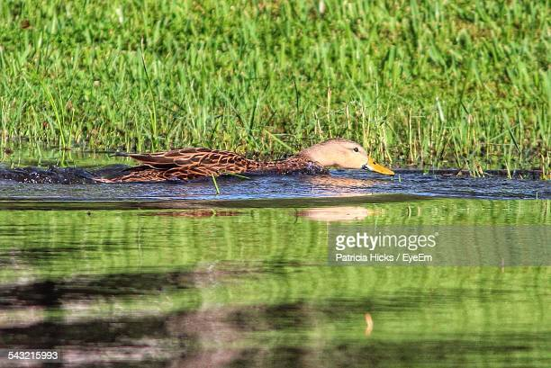 Duck Swimming In Lake In Front Of Grasses