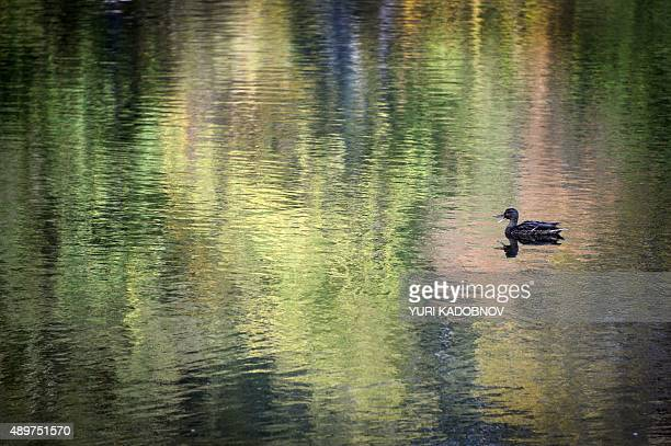 A duck swims in a pond in central Moscow on September 24 2015 Meteorologists forecast warm and sunny autumn weather in the region till the end of the...
