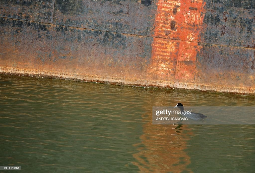 A duck swims past an rusting, abandoned boat near the banks near the banks of the Sava river in Belgrade on February 13, 2013.