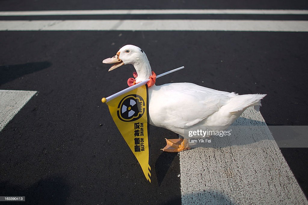 A duck walks with a flag reading ''No Nuke'' on its neck during an anti-nuclear rally on March 9, 2013 in Taipei, Taiwan.Tens of thousands of protesters took to the streets in Taiwan calling on the government to shut down the island's nuclear power plants, citing the painful lesson of Japan's nuclear crisis after 9.0-magnitude earthquake two years ago.