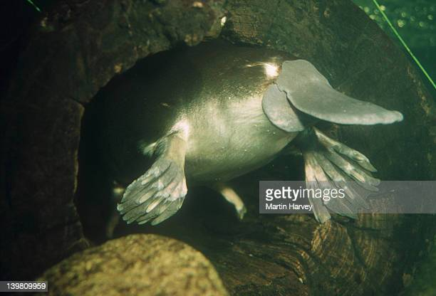 Duck-billed Platypus, Ornithorhynchus anatinus, is an egg-laying aquatic mammal. Australia.