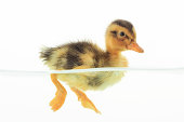 Duckling floating on water