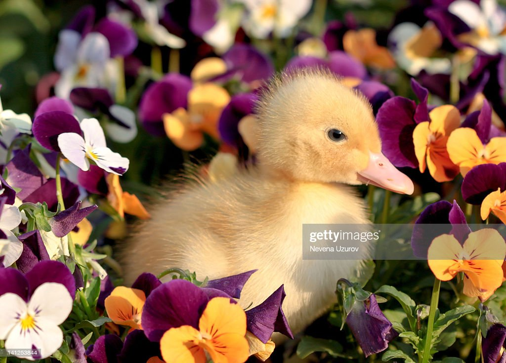 Duckling in flowers