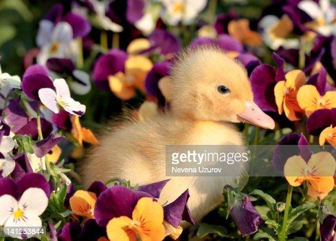 Duckling in flowers