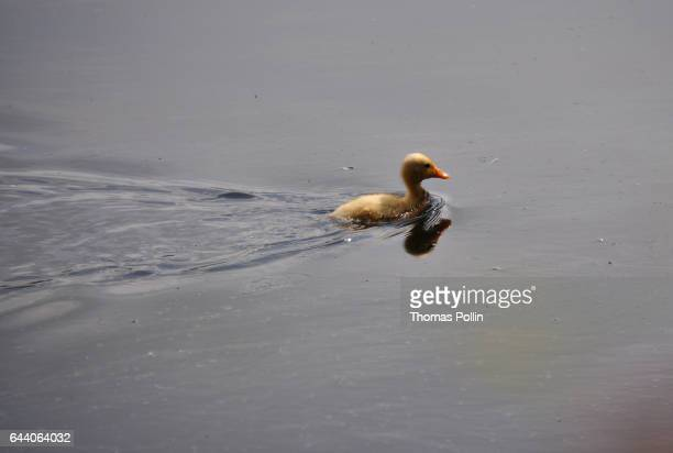 Duckling on the Ruhr river
