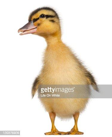 Duckling (1 week old)