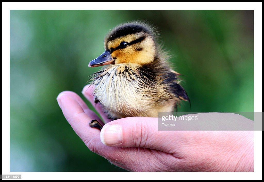 Duckling : Stock Photo