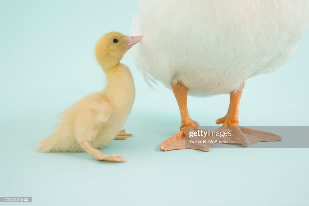 Duckling standing next to mother duck : Stock Photo