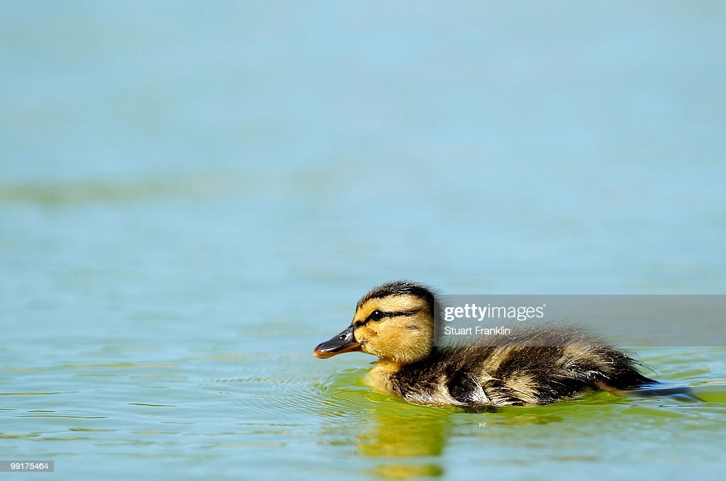A duckling watches the golf during the first round of the Open Cala Millor Mallorca at Pula golf club on May 13 2010 in Mallorca Spain