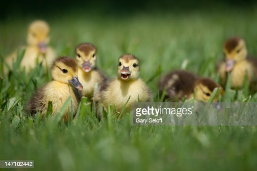 Ducklings on grass : Stock Photo