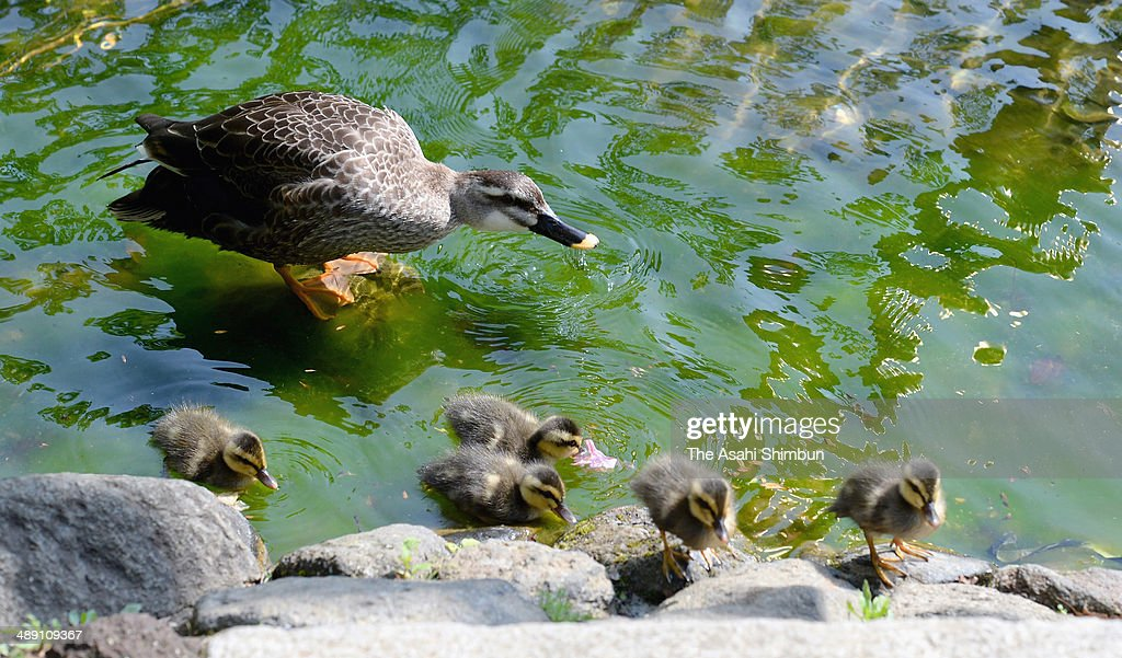 Ducklings swim with their mother in a pond of Mohri Park, part of one of most expensive residential zone of Roppongi Hills on May 10, 2014 in Tokyo, Japan. Grey ducks appear at the park this time of the year for 11 years in a row.