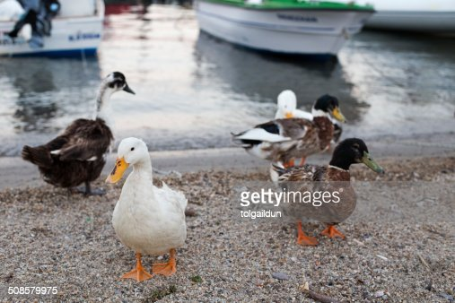 Ducks and Geese Walking Near Seaside : Stock Photo