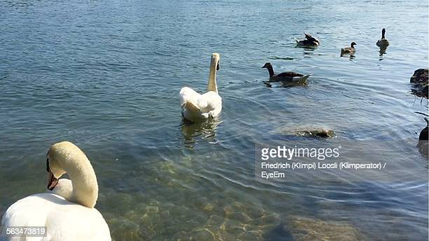Ducks And Swan Swimming On Lake