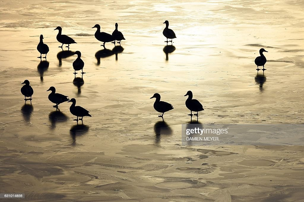Ducks are pictured on January 5, 2017 on a frozen pond in Hede-Bazouges, western France. / AFP / DAMIEN