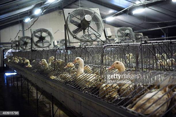 LAFFONT Ducks are seen in a foie gras manufactory on November 21 2013 in SaintMichel eastern France AFP PHOTO / REMY GABALDA