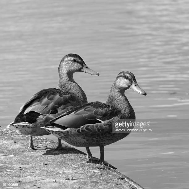 Ducks By Lake