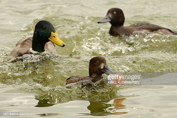 Ducks chase pieces of bread in a pond in Moscow on September 26 2012 AFP PHOTO / KIRILL KUDRYAVTSEV