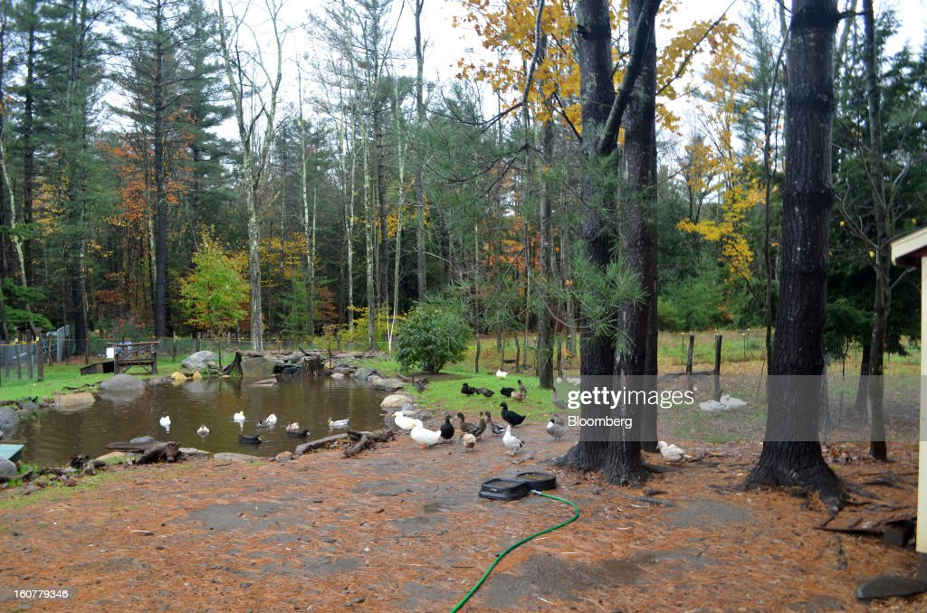 Ducks enjoy a small pond at the Woodstock Animal Farm Sanctuary in Willow, New York, U.S., on Friday, Oct. 19, 2012. A YouTube video showing the ducks play in water for the first time was an Internet hit. Photographer: Mike Di Paola/Bloomberg via Getty Images