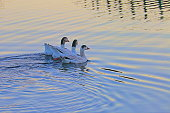 Graceful Ducks floating on water - secluded lake at sunset near Gramado, Rio Grande do Sul – Southern Brazil