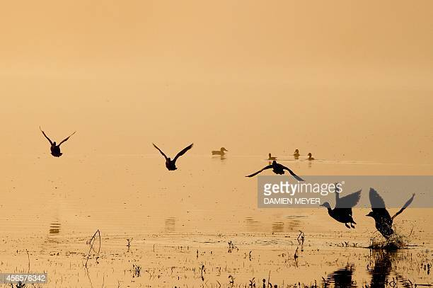 Ducks fly over a pond at sunrise on October 3 2014 in HedeBazouges next to the western city of Rennes AFP PHOTO / DAMIEN MEYER