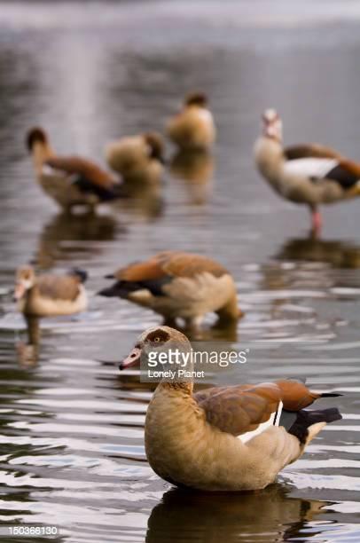 Ducks in lake of Vondelpark.