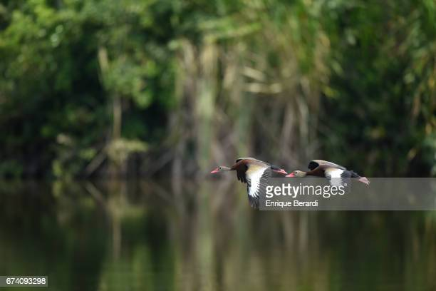 Ducks in the lagoon during practice for the PGA TOUR Latinoamérica Honduras Open presented by Indura Golf Resort at Indura Golf Resort on March 21...