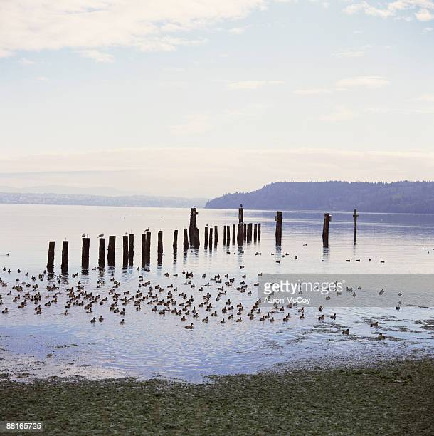 Ducks in water , Vashon Island , Washington