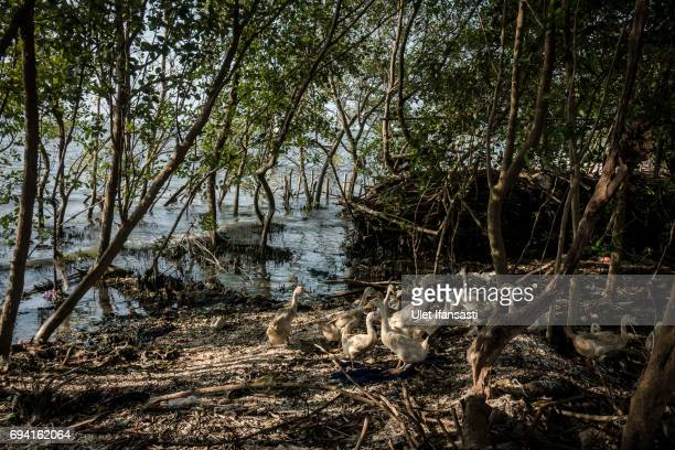 Ducks is seen near flood waters from rising sea levels at Bedono village on June 7 2017 in Demak Indonesia Indonesia is known to be one of the...