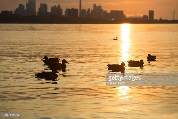 ducks on sunrise