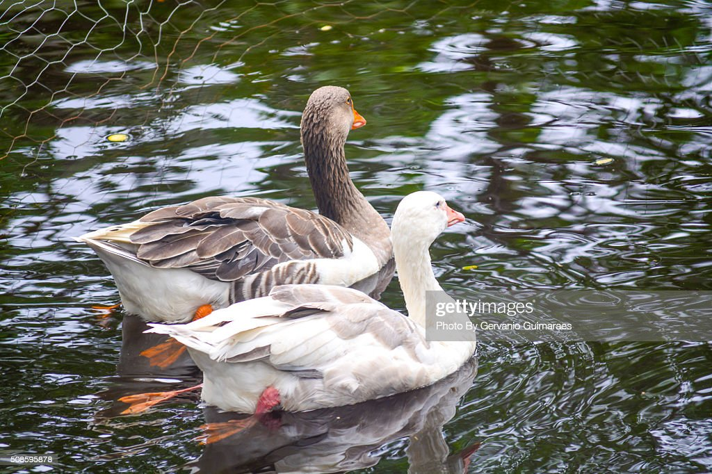 Ducks : Stock Photo
